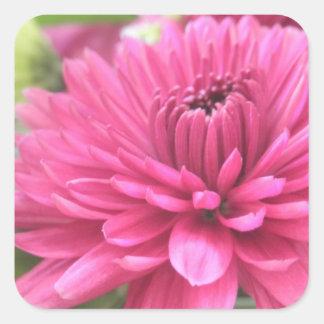 Foto de las flores de las momias de la flor del pegatina cuadrada