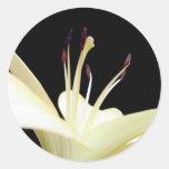 Foto de las flores de los lirios de la flor del etiqueta redonda