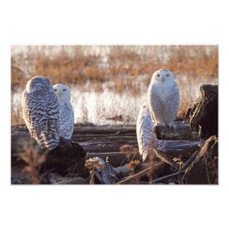 Foto de los búhos Nevado