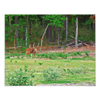 Foto de los ciervos de AXIS Cojinete