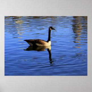 Foto de los gansos canadienses en Central Park NY Posters