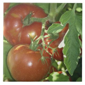 Foto de tomates maduros en la vid azulejo cuadrado grande