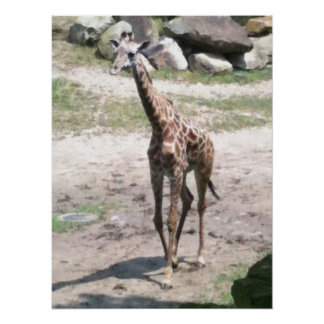 Foto de una jirafa del bebé que camina en posters