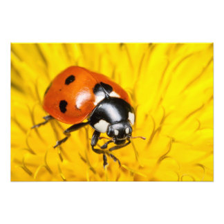 Foto de una mariquita roja en el flor amarillo del fotografía