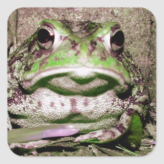 Foto de una rana gorda funnycolorful del sapo pegatina cuadrada
