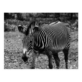 Foto del animal de la fauna de la cebra tarjetas postales