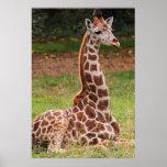 Foto del animal de la fauna de la jirafa poster