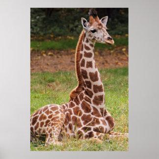 Foto del animal de la fauna de la jirafa póster