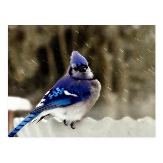 Foto del arrendajo azul postal