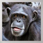 Foto del chimpancé impresiones