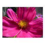 Foto del cosmos de las rosas fuertes postales