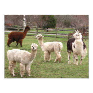 Foto del de la mezcla de la alpaca