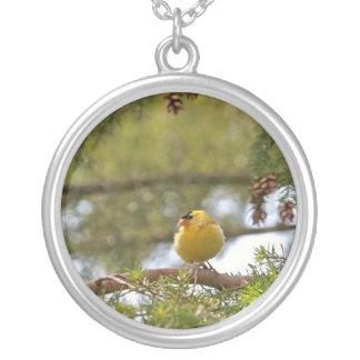 Foto del Goldfinch del bebé Grímpola