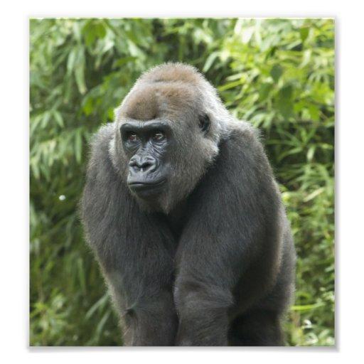 Foto del gorila cojinete