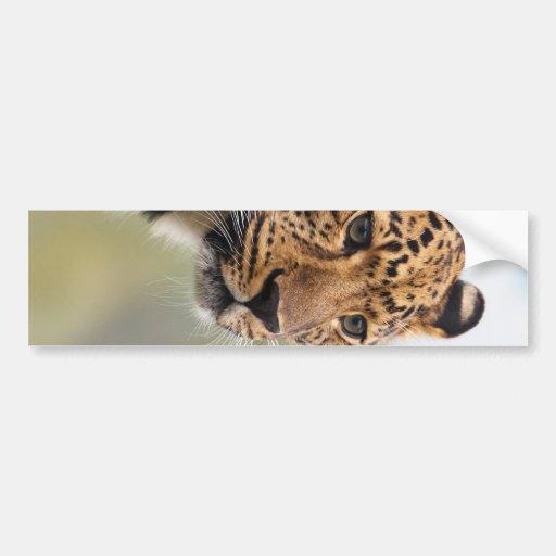 Foto del leopardo pegatina para auto
