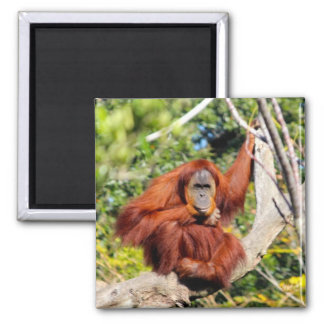 Foto del orangután imán para frigorifico