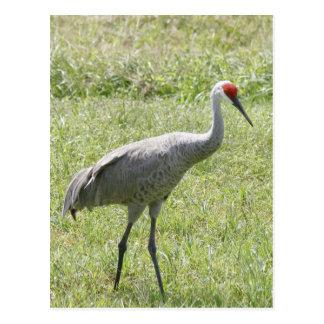 Foto del pájaro de la grúa de Sandhill Tarjeta Postal
