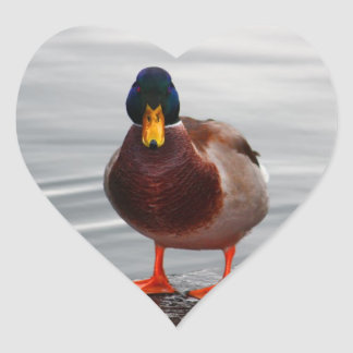 Foto del pato del pato silvestre pegatina en forma de corazón