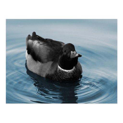 Foto del pato del pato silvestre postal