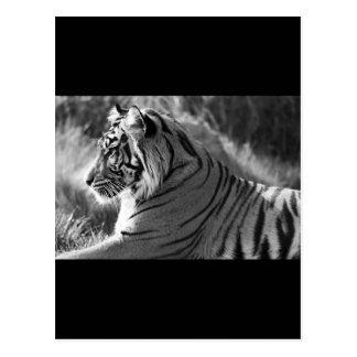 Foto del perfil del tigre de B&W Postal