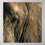 Foto del primer del ojo del elefante africano poster