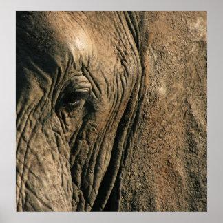 Foto del primer del ojo del elefante africano póster