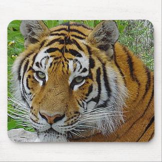 Foto del primer del tigre siberiano de la cara alfombrillas de ratón