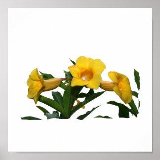 Foto del recorte de las flores de trompeta amarill impresiones