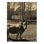 Foto del tono de la sepia de la vaca de Brown Tarjeta Postal