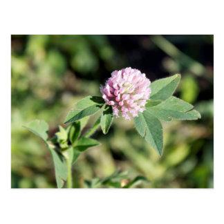 Foto del Wildflower del trébol púrpura Postal