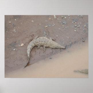 Foto enorme de un cocodrilo del cocodrilo de Rican Póster