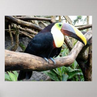 ¡Foto enorme de un Toucan hermoso! Póster