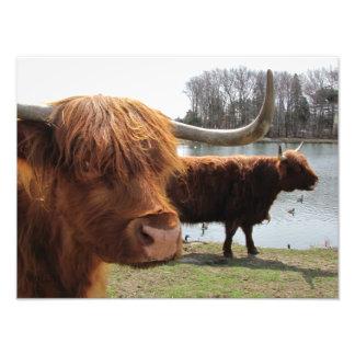 Foto escocesa del ~ del ganado de la montaña