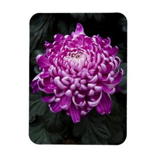 Foto floral del crisantemo hermoso de la caída imán rectangular