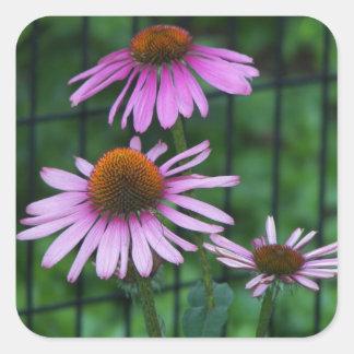 Foto floral púrpura de Coneflower Pegatina Cuadrada