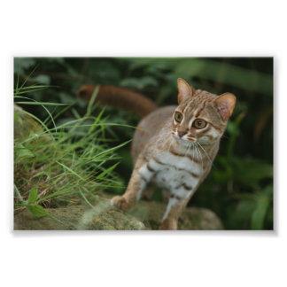 Foto - gato manchado oxidado