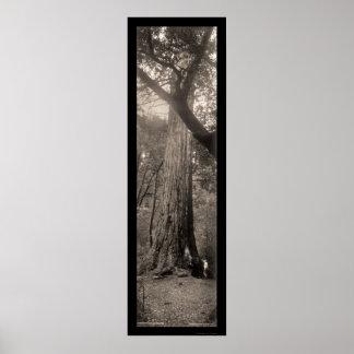 Foto grande 1907 del árbol de la secoya del lavabo poster