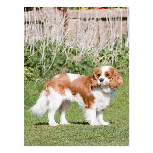 Foto hermosa de rey Charles del perro arrogante Postal