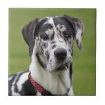Foto hermosa del harlequin del perro de great dane teja