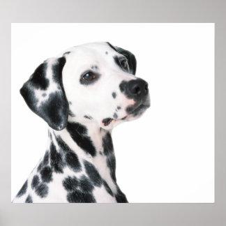 Foto hermosa del perro dálmata, impresión impresiones