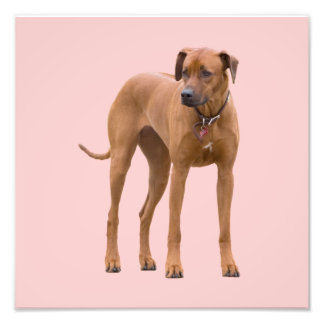 Foto hermosa del perro de Rhodesian Ridgeback, reg