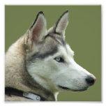 Foto hermosa del perro siberiano fornido