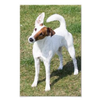 Foto hermosa del retrato del perro liso del fox te