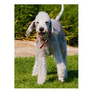 Foto hermosa linda del perro de Bedlington Terrier Tarjeta Postal