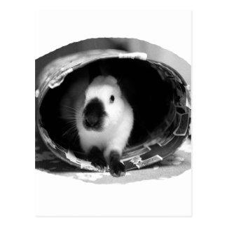Foto Himalayan de BW del conejo en poder redonda Tarjeta Postal