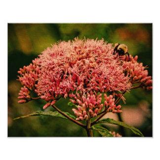 Foto Impresión-Joe Pye y la abeja