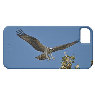 Foto juvenil de la fauna de Osprey que vuela Pesca iPhone 5 Funda