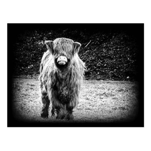 Foto lanuda de la vaca de la montaña (negro y blan tarjeta postal