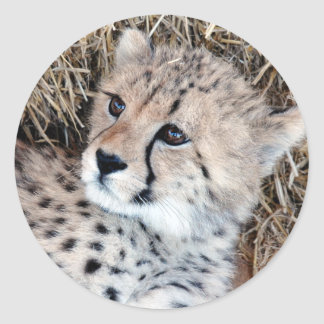 Foto linda de Cub del guepardo Pegatina Redonda