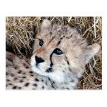 Foto linda de Cub del guepardo Tarjeta Postal